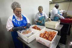 In this Friday, June 28, 2013, photo, workers shuck cooked lobster meat at the Sea Hag Lobster Processing plant in Tenants Harbor, Maine. New lobster processors are opening in Maine following last year's turbulent lobster season when Canadian fishermen were blocking truckloads of Maine-caught lobster from delivery at processors there. (AP Photo/Robert F. Bukaty)