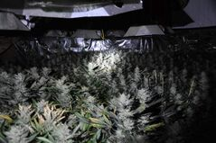 RCMP seized 1,200 marijuana plants and growing equipment from a residence in the RM of Tache.