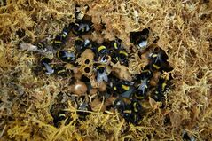 This undated handout photo provided by credit David Goulson, Stirling University shows a bumblebee nest. A common class of pesticide is causing problems for both honeybees and wild bumblebees, important species already in trouble, say two new scientific studies. The new research suggests the chemicals designed to attack the central nervous system of pests also reduce the weight and number of queens in bumblebee hives and that they cause more honeybees to become disoriented and fail to return to their hives. (AP Photo/David Goulson, Stirling University)
