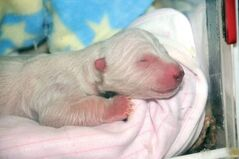 Hudson the polar bear as a newborn in October 2011.