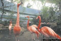 Caribbean Flamingos at the Assiniboine Park Zoo.