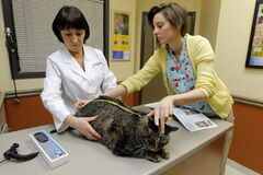 Dr. Pat Dorval and Alexis Betker take Eddie's measurements at Tuxedo Animal Hospital.