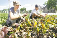 Urban farmers Corinne Klassen and Jeremy Doerksen cultivate beets in the CMU urban farming garden on the grounds of Canadian Mennonite University.