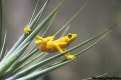 See the Panamanian golden frog before it's too late.