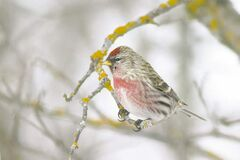 A winter visitor, the Common Redpoll male sports a pink breast, bright red cap and black chin. Attracted to finch feeders designed with tiny feeding ports that offer nyjer seed. (CHRISTIAN ARTUSO PHOTO)