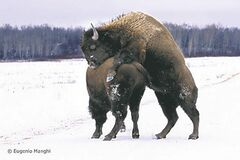 Eugenio Manghi took this picture of bison frolicking in Riding Mountain National Park.