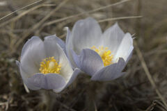 The year's first crocus blooms in Arden, the nation's crocus capital, Sunday afternoon.