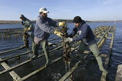 File - In this Dec. 6, 2011 file photo, workers harvest Pacific oysters at the Drake's Bay Oyster Co. in Point Reyes National Seashore, Calif. The Supreme Court has refused to hear an appeal from a popular oyster farm in Northern California that is facing closure. The justices did not comment Monday, June 30, 2014, in leaving in place lower court rulings against Drakes Bay Oyster Co. (AP Photo/Eric Risberg, File)