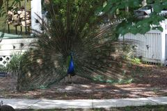 A University of Manitoba student is the first to discover peacocks make love calls pitched too low for humans to hear.