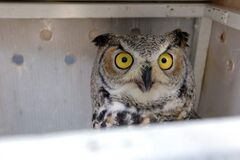 A great horned owl that was caught up in some soccer nets in Shamrock Park in Southdale on Nov. 16 was rehabilitated and released Tuesday afternoon. Here he looks out from the release box.