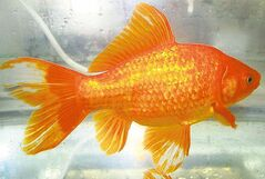 To stave off infection, antibiotic use is widespread in the ornamental fish industry.