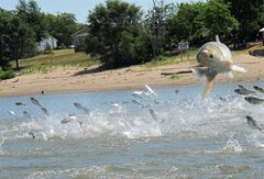 FILE - In this June 13, 2012 photo an Asian carp, jolted by an electric current from a research boat, jumps from the Illinois River near Havana, Ill., during a study on the fish's population. The U.S. Army Corps of Engineers released a report on Monday, Jan. 6, 2014, years in the making, about options for keeping Asian carp from invading the Great Lakes. The report focuses on the Chicago Area Waterway System and its network of rivers and canals that provide a direct link between Lake Michigan and the Mississippi River. (AP Photo/John Flesher, File)