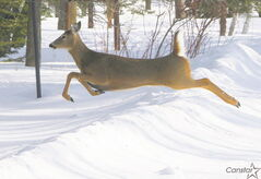 Drivers should be on the alert for deer crossing roads in Waverley West now that warmer weather is on its way.