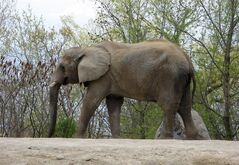 Thika, one of the Toronto Zoo's three elephants, walks around it's enclosure in this May 12, 2011 photo. The Royal Canadian Air Force is being asked to move three Toronto-based elephants to a new home in California, a national zoo watchdog said Thursday. THE CANADIAN PRESS/Pat Hewitt