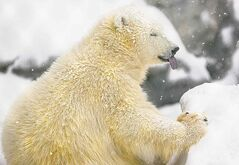 Rescued bear Kaska munches on a treat as the snow falls.