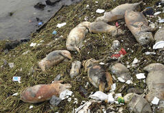 Dead pigs are strewn along the riverbanks of Songjiang district in Shanghai, China. Chinese officials say they have fished out 900 dead pigs from a Shanghai river that is a water source for city residents. Officials are investigating where the pigs came from.