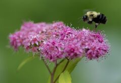 A bee lands on a flower in a garden in Chelsea, Que., Wednesday June 25, 2014. Scientists say they have conclusive evidence that two widely used types of pesticides are killing bees and other insects and harming the environment. THE CANADIAN PRESS/Adrian Wyld