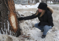 Mimi Raglan checks out damage to a tree on Balfour Avenue in Riverview. Residents say the damage was caused by snowplowing.