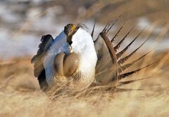 A male sage grouse is shown near Rawlins, Wyo., April 15, 2008. THE CANADIAN PRESS/AP-Rawlins Daily Times, Jerret Raffety
