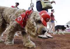 A dog wearing Cincinnati Reds attire is led around the field at Great American Ballpark in a parade of dogs for Bark in the Park, prior to the Reds' baseball game against the San Diego Padres, Tuesday, May 13, 2014, in Cincinnati. (AP Photo)