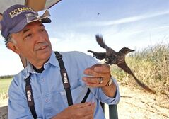 In this June 16, 2014 photo released by University of California, Davis, UC Davis staff researcher Robert Meese releases a banded tricolored blackbird at Conaway Ranch in Yolo County, Calif. A blackbird species found mostly in the Central Valley of California has experienced a major decline in its population over the past several years due in part to farming practices, researchers say. The birds now numbers about 145,000 in the state, down from millions less than a century ago, a survey released Wednesday shows. Meese, who led the study, said Californians must act to reverse the decline. (AP Photo/UC Davis, Sylvia Wright)