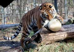 The tigers, and other animals were treated to some tricks and treats today. Pumpkins were handled out to be played with, mauled, and snacked on.