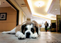 Takoda the St. Bernard lies ready to greet customers at Sunova Credit Union's Selkirk branch.