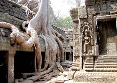 The monastic complex of Ta Prohm, a mystic hideout where jungle meets temple and massive tree roots intertwine with stone walls at the Angkor Wat complex in Cambodia.