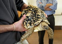 FILE - In this undated file photo provided by Katlyn R. Gerken, a staff member of the National Mississippi River Museum & Aquarium in Dubuque, Iowa holds Cashew, an 18-pound African leopard tortoise. The museum said Friday, April 5, 2013, that an employee found the tortoise behind paneling in her enclosure and hid her in an elevator in a misguided attempt to prevent further embarrassment after officials announced Tuesday that they believed Cashew had been stolen.� (AP Photo/Katlyn R. Gerken, File)