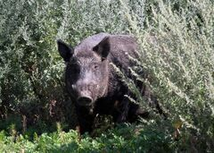 Wild boar can be ill-tempered and are not shy. The animals, weighing up to 200 kilograms, can become very aggressive, using their sharp tusks in attacks.