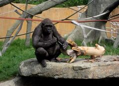 Barika a female gorilla is seen in her enclosure at the Calgary Zoo on June 16, 2009. A zookeeper responsible for the escape of some gorillas at the Calgary Zoo has been fired. Last week, several western lowland apes - which can weigh as much as 270 kilograms - got into what is known as the gorilla kitchen from their enclosure in the rainforest exhibit. THE CANADIAN PRESS/Heike Scheffler