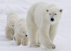 A polar bear mother and her two cubs walk along the shore of Hudson Bay near Churchill, Man. Wednesday, Nov. 7, 2007. A polar bear webcam is capturing live images of Canadian polar bear migration. THE CANADIAN PRESS/Jonathan Hayward