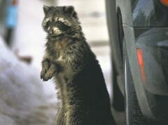 A raccoon is seen within city limits earlier this year. Distemper makes them  sluggish.