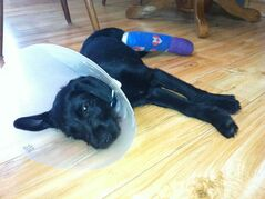 Boo Boo, a three-month-old Terrier cross, was found roaming an area near the community of Mitchell with a broken leg.