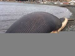 A rotting blue whale carcass sits on the shore in Trout River, N.L., on April 27, 2014. THE CANADIAN PRESS/ NTV News, Don Bradshaw