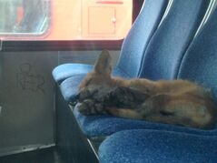 A fox sleeps inside a parked transit bus in Ottawa, Sunday, July 20, 2014 in a handout photo. OC Transpo says the fox climbed through the open front door of an out-of-service bus parked at one of its garages Sunday morning and quickly settled in for a nap. THE CANADIAN PRESS/HO-OC Transpo