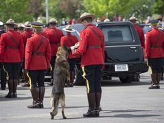 RCMP police dog Danny sniffs the Stetson of his partner, slain Const. David Ross, during the funeral procession for the three RCMP officers who were killed in the line of duty, at their regimental funeral at the Moncton Coliseum in Moncton, N.B. on Tuesday, June 10, 2014. THE CANADIAN PRESS/Andrew Vaughan