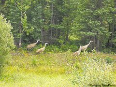 Family of Sandhill Cranes near the roadside north of Thompson.