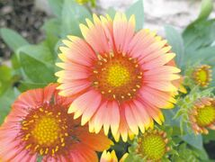At left, a prolific bloomer, Blanketflower (Gaillardia) is a hardy drought and heat-tolerant perennial that flourishes with little maintenance.
