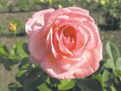 Still unnamed, the next eagerly-anticipated rose in the Canadian Artist Series will be released in 2014. Intensely perfumed, with large foliage and very large pink blooms.