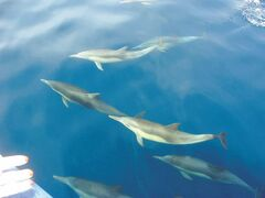 A mega-pod of dolphins off the whale-watching boat.