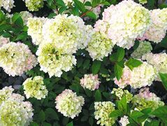 Strawberry Sundae is a dwarf version of Vanilla Strawberry Hydrangea. Flowers emerge creamy white before turning pink and finally strawberry red. They are also compact in size and perfect for smaller spaces.