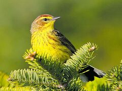 The palm warbler summers in the boreal region.