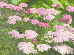 Cutting back perennial yarrow in early summer encourages a second flush of blooms in late summer and early fall. Feathery foliage and flat topped blooms are attractive in a bouquet and has a long vase life of about two weeks.