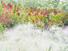 Cutting gardens are planted in rows for easy access. Frosted Explosion (Panicum elegans), an annual grass shown in the foreground of this cutting garden, is a frothy addition to bouquets. An interesting alternative to the ubiquitous Baby�s Breath. Ruffled celosia and cloud-like Queen Anne�s lace are in the background.