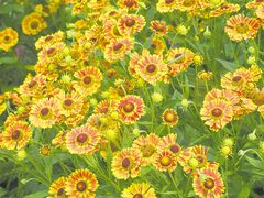 Zone 4 perennials such as fall-blooming Helenium benefit from some extra TLC.  Leave the stems standing to catch snow for added protection to the plant's roots and mulch with compost or leaves.