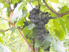 Hardy grape cultivars suitable for wine production in Manitoba include Frontenac, Frontenac Gris, Kay Gray,  Marechael Foch, Marquette and La Crescent.
