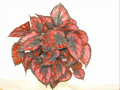 The fascination with Rex Begonias lies in its distinctive leaf shapes and colour patterns. Red Kiss sports bright red colouration with brown centers and brown margins. Provide plenty of air circulation and avoid overwatering.