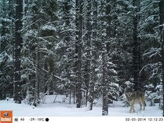 A wolf saunters along a seismic line cut by an energy company through the bush along Alberta's northwestern foothills in this undated handout photo taken on by a motion detector camera. Scientists are trying to remediate the lines, which help wolves get deep into the forest and are partly responsible for vanishing caribou herds, but there are so many that they're focusing on which ones would do the most good. THE CANADIAN PRESS/ HO, Foothills Research Institute