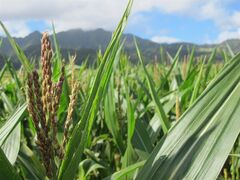 In this April 16, 2014 photo, a tassel of corn grows in a field on Pioneer Hi-Bred International land in Waialua, Hawaii. The nation's leading corn seed companies have farms in Hawaii, but their fields have become a flash point in a spreading debate over genetic engineering in agriculture. (AP Photo/Audrey McAvoy)